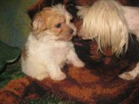 I have a Male Morkie puppy, who is 12 weeks old. He has