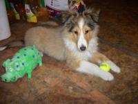 Hello! I am a 3 month old Shetland Sheepdog and I would