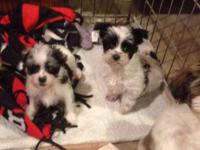 Small combined breed young puppies for sale. Morkies