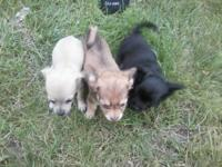 I have 3 teacup Chihuahua dogs for sale. They are pure