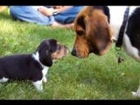 Very Cute tri-colored beagle readily available this