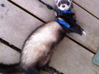 I have a 1.5 year old male ferret who is fixed and
