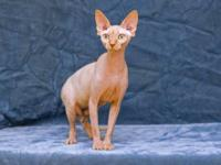 Very friendly four year old male hairless sphynx cat