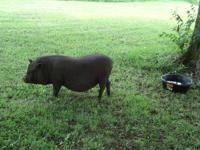 Penelope is a black female pot bellied pig. She is