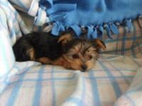 Yorkshire Terrier/Miniature Poodle=YorkiePoo. Cute and