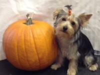 5 month old AKC Male Yorkshire Terrier. He has the