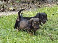 We have 3 extremely charming male Dachshund young