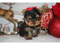 very happy to announce Yorkie Puppies For Adoption i
