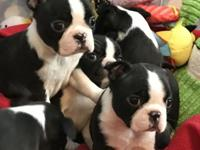 Very healthy and cute Boston Terrier puppies for