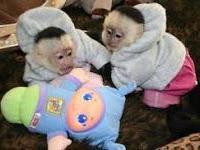 Animal Type: Monkey Very healthy and cute Capuchin