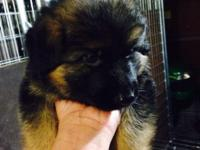 One High quality lovely german shepherd male puppy