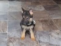 Amazing, high quality german shepherd puppies for
