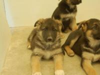 For Sale: In Spring Creek, Nevada. Large AKC Registered