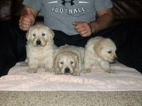 I have a litter of 1/2 English Golden Retriever pups.