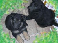 AKC German Shepherd puppies, M's & & F's. Very nice