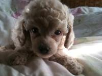 Availiable now! V. nice Sparkling wine toy guy poodle
