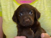 VERY PRETTY & PLAYFUL CKC LAB PUPPIES, BORN ON