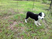 4month old puppy. Black and white, tail docked dew