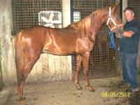 Very nice yearling colt, by Witch Trot's Merlin and out