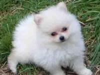 Very Playful and friendly Pomeranian pups. Home breed