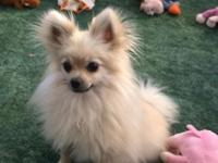 Very cute female Pomeranian. She is a very friendly and