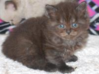 Hi! My CFA registered seal point Himalayan Daddy, and