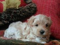 Maltipoos, tiny fluffy puppies.1 very rare red male and