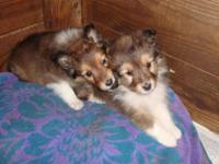 AKC Registered 2 - Sable & White Shelties Very Small