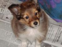 AKC Registered 1 Males Sable & White Very Small Comes