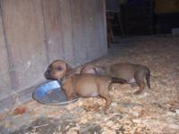 LITTLE RED DOXIE FEMALE--SOOOOO SWEET AND PLAYFUL.