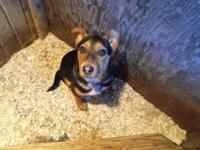 Male Blue Heeler Pup Born September 22, 2014 Shots &