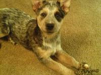 12 week old blue heeler/ACD pick of letter. this girl