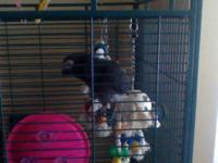 7 years of age African Grey female who needs an owner