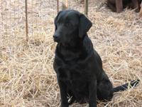 CKC Registered Labrador Retriever. Her name is Katie. I