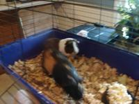 I have 2 very cute Guinea pigs looking for a new home.