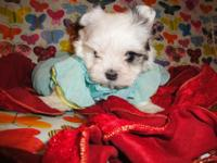 I have 2 female and 1 male maltipoo. They are super