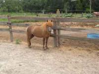 Lil Bit is a beautiful, very sweet minature horse,
