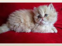 I have a very sweet Red female Persian Himalayan kitten