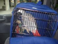 Healthy 7 Year Old Female African Grey Needs a Loving