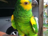 Pretty and inteligent amazon parrot very talkative 15