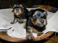 These Beautiful Black/Tan puppies are very active, love