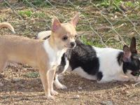 Scamper is a very tiny AKC male chihuahua pup, he sells