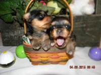 I have two very small little black/tan silky girls.