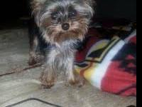 Sissy is a teacup female yorkie 1yr old full grown will