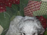 We have a male maltese puppy that is ready for his