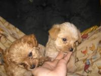 I have a litter of 4 Maltese Chihuahuas young puppies.