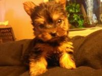 I have a quite really small teacup yorkie. He is
