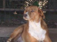WONDERFUL WELL MANNERED ADULT FEMALE BOXER. AKC REG.
