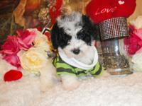 I have three male parti color toy poodle. They are