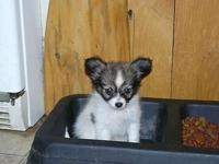 we have 2 very sweet little papillon puppies that are 9